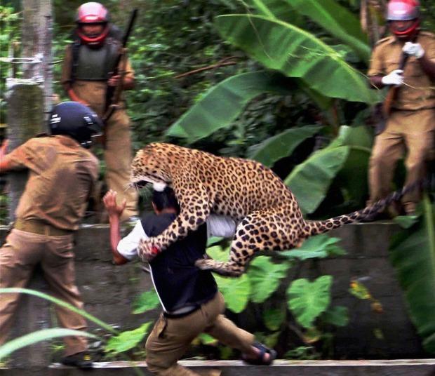 Λεοπάρδαλη επιτίθεται.