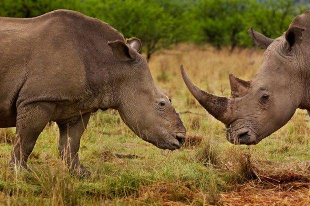 Πρώτο βραβείο 'Φύση-Ιστορίες'. Ρινόκερος χωρίς κέρατο (το  έχουν κόψει κυνηγοί).