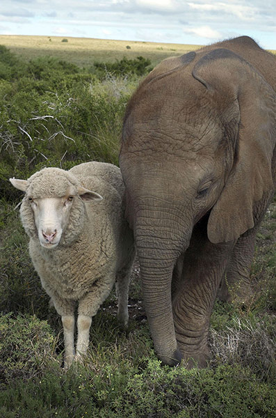The-African-elephant-and--006