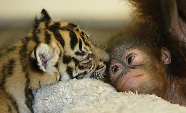 The-orangutan-baby-and-th-008
