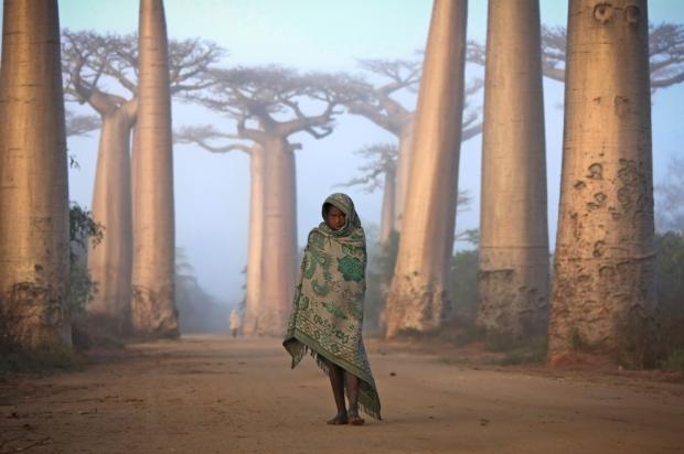 Κοντά στην πόλη Morondava, στη δυτική ακτή της Μαδαγασκάρης, βρίσκεται ένα αρχαίο δάσος με δέντρα Baobab. Περπατώντας ανάμεσα σε αυτούς τα γιγάντια δέντρα είναι σαν να βρίσκεσαι σε άλλο πλανήτη. Μερικά από τα δέντρα έχουν ηλικία μεγαλύτερη από χίλια χρόνια.