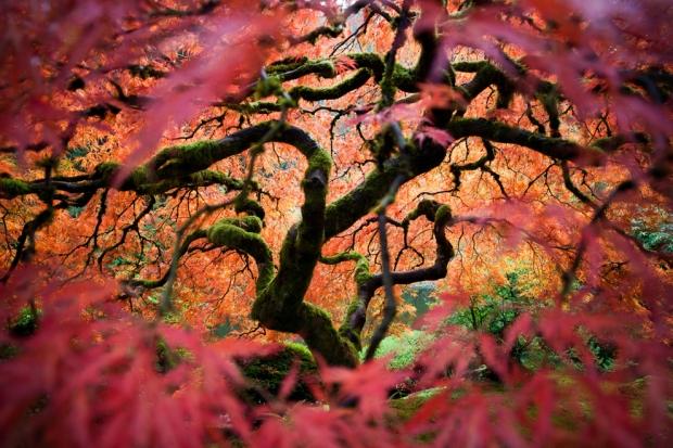 Πλάτανος στον ιαπωνικό κήπο του Πόρτλαντ . Είναι ένας παραδοσιακός Ιαπωνικός κήπος, 5,5 στρέμματα (22.000 m²) στο μέγεθος, τοποθετημένος στους δυτικούς λόφους Πόρτλαντ, Όρεγκον, ΗΠΑ.