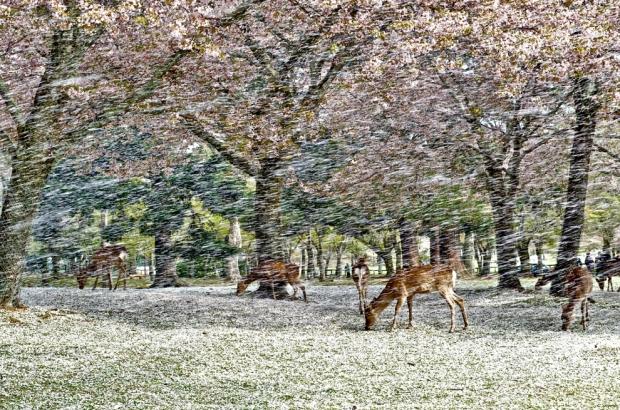 Ονομάζεται «Χάνα Fubuki» στα ιαπωνικά, σημαίνει κυριολεκτικά χιονοθύελλα από λουλούδια.
