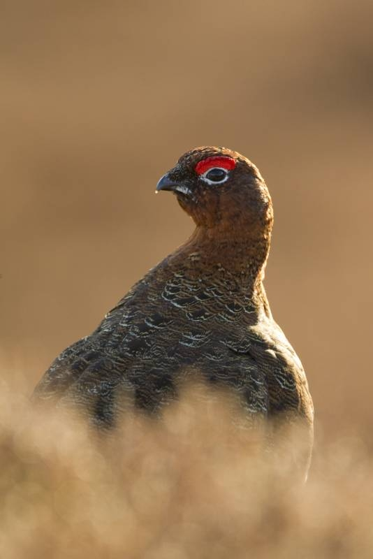 2red_grouse_caption_no_2-534x800