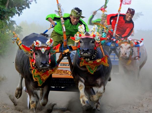"""Άνδρες διαγωνίζονται κατά τη διάρκεια ενός αγώνα με βουβάλια στο Μπαλί . Περισσότερα από τριακόσια βουβάλια συμμετείχαν στο """"Mekepung"""", μια τελετουργία ευχαριστία μετά από μια επιτυχημένη συγκομιδή."""
