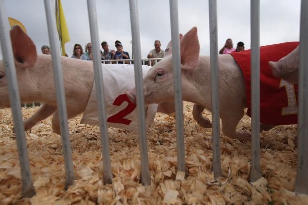 Γουρούνια διαγωνίζονται στην Κρατική Έκθεση της Νεμπράσκα.
