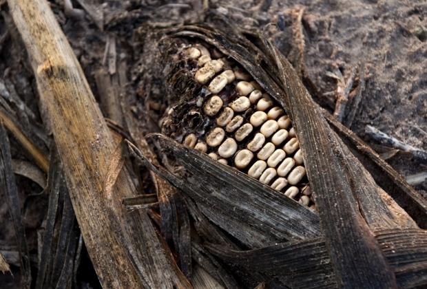 Καλαμπόκι που έχει πληγεί από σοβαρή ξηρασία σαπίζει σε ένα αγρόκτημα κοντά  στο Bruceville, Ιντιάνα