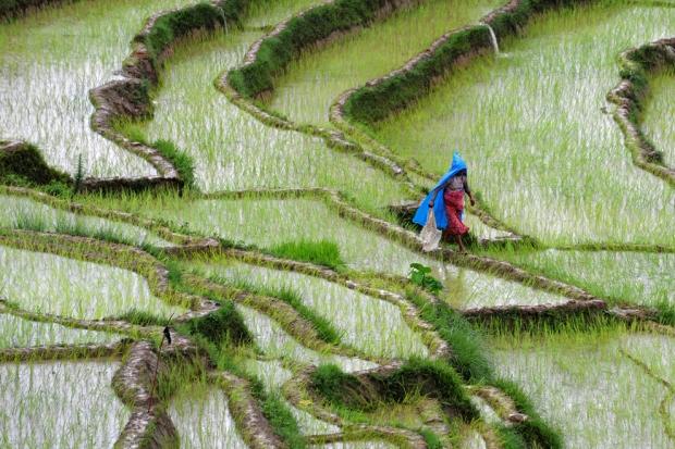 Αγρότης επιθεωρεί τους ορυζώνες στο Khokana, Νεπάλ