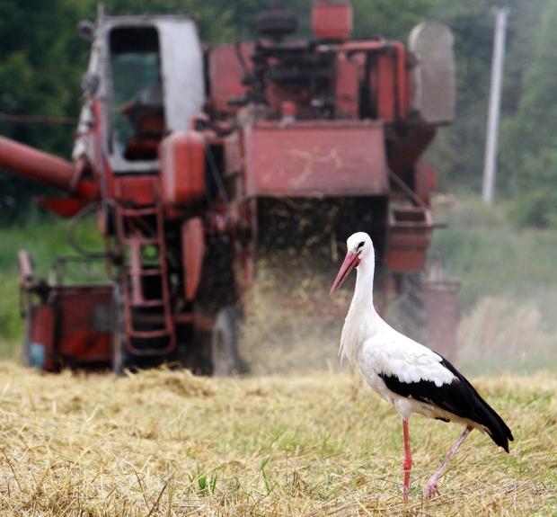 Πελαργός περπατά σε χωράφι σιτηρών στο Βίλνιους της Λιθουανίας