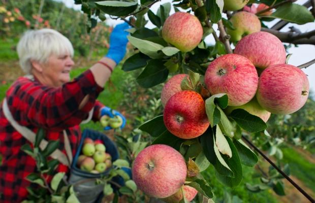 Εποχικοί εργαζόμενοι από την Πολωνία μαζεύουν μήλα σε αγρόκτημα στη Φρανκφούρτη / Oder, Γερμανία