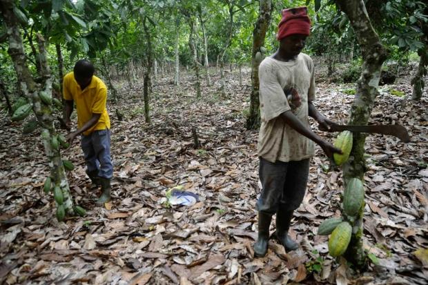 Κακάο στο Sekyere, Γκάνα