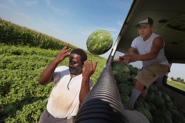Μετανάστες μαζεύουν καρπούζια  σε περιοχή της Ιντιάνα. Η περιοχή βίωσε μία από τις χειρότερες ξηρασίες εδώ και πέντε δεκαετίες. Η Ιντιάνα είναι ένας από τους μεγαλύτερους παραγωγούς  καρπουζιού.